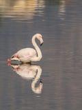 Flamingo. A flamingo in Olbia`s gulf Royalty Free Stock Photography