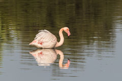 Flamingo. In Olbia`s gulf Stock Images