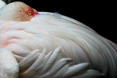 Flamingo onbeweeglijk Stock Foto