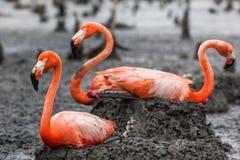 Flamingo op het nest Royalty-vrije Stock Afbeelding