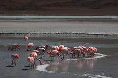 Flamingo op Laguna Hedionda Stock Afbeeldingen