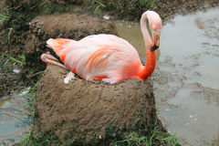 Flamingo op moddernest Stock Fotografie