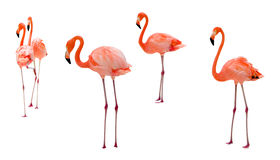 Flamingo op wit Royalty-vrije Stock Foto