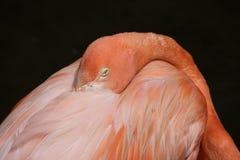 Flamingo op zwarte Stock Afbeelding