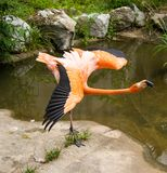 Flamingo with open wings stock photos