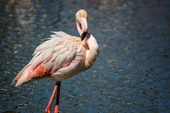 Flamingo openluchtschot Royalty-vrije Stock Foto