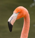 Flamingo. Orange Flamingo posing for photo Stock Images