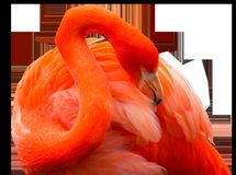 Flamingo, Orange, Vertebrate, Water Bird Stock Photos
