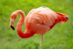 Flamingo over green background Stock Images
