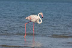 Flamingo over the water Royalty Free Stock Images