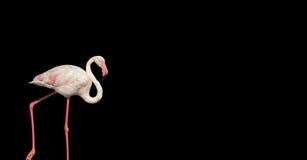Flamingo over zwarte achtergrond wordt geïsoleerd die Stock Afbeeldingen