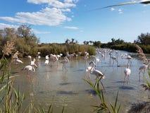 Flamingo på Carmargue naturligt regionalt parkerar royaltyfri fotografi