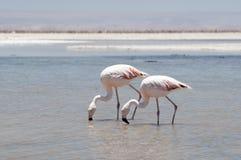 Flamingo på den Atacama öknen Royaltyfri Foto
