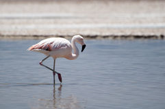 Flamingo på den Atacama öknen Royaltyfri Fotografi