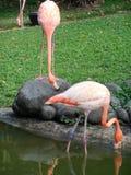 Flamingo på Guadeloupe botaniska trädgårdar arkivbild