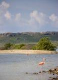 Flamingo på sjön Fotografering för Bildbyråer