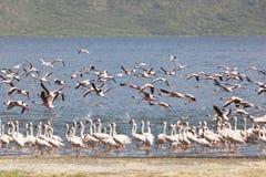 Flamingo på sjön Bogoria, Kenya Arkivbilder