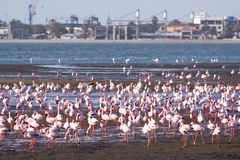 Flamingo på swakopmundtillflyktsorten Royaltyfri Foto