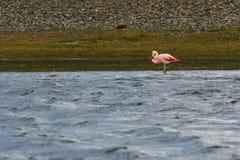 Flamingo på vinden Royaltyfria Bilder