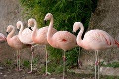 Flamingo på zoo arkivbild