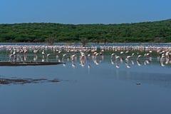 Flamingo på sjöhock Arkivbild