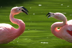 Flamingo Pair Royalty Free Stock Images