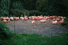 Flamingo of pak van flamingo in dierentuin van Praag Stock Afbeeldingen