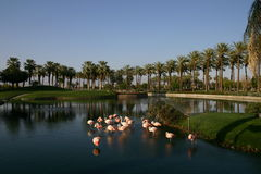 Flamingo palm tree lake. Plam trees surrounding a lake full of flamingos near a resort golf course Royalty Free Stock Photo