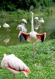 Flamingo parade 5 Royalty Free Stock Images