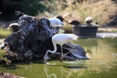 Flamingo am Park stockbilder