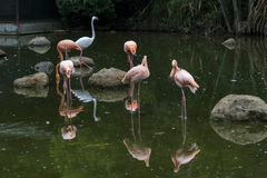 Flamingo in park Royalty Free Stock Photo
