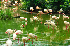 Flamingo in park Kowloon Royalty-vrije Stock Foto's