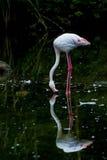 Flamingo parkerar in Royaltyfri Fotografi