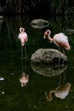 Flamingo parkerar in Royaltyfria Foton