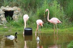 Flamingo (Phoenicopteridae) Stock Fotografie