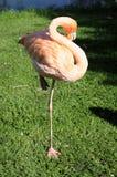 Flamingo - Phoenicopteriformes - Phoenicopteridae Royalty Free Stock Image