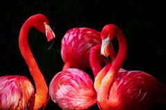 Flamingo, Phoenicopterus, Flamingos Royalty Free Stock Photo