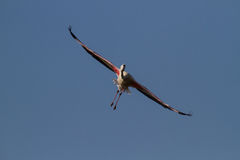 Flamingo - Phoenicopterus roseus. Flamingo flying overhead in a cirlce to gain height Royalty Free Stock Image