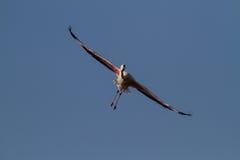 Flamingo - Phoenicopterus roseus Royalty Free Stock Image