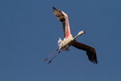 Flamingo - Phoenicopterus roseus. Flamingo flying overhead in a cirlce to gain height Royalty Free Stock Photography