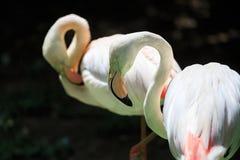 Flamingo Phoenicopterus roseus Royalty Free Stock Photo