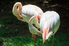 Flamingo Phoenicopterus roseus Stock Images