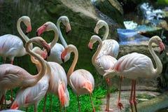Flamingo Phoenicopterus roseus Stock Photos