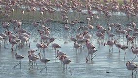 Flamingo, Phoenicopterus-ruber stock video footage
