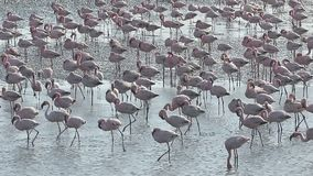 Flamingo, Phoenicopterus-ruber, stock video