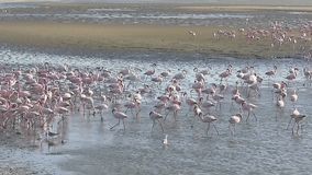 Flamingo, Phoenicopterus-ruber, stock footage