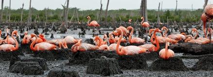 Free Flamingo (Phoenicopterus Ruber) At Nest. Royalty Free Stock Photos - 26381298
