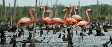 Flamingo (Phoenicopterus ruber) colony. Royalty Free Stock Images