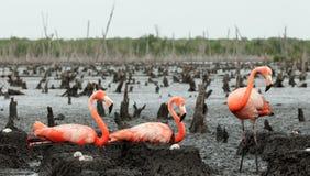 Free Flamingo (Phoenicopterus Ruber) Colony. Royalty Free Stock Images - 36424469