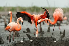 Free Flamingo (Phoenicopterus Ruber) Colony. Stock Photo - 36424910